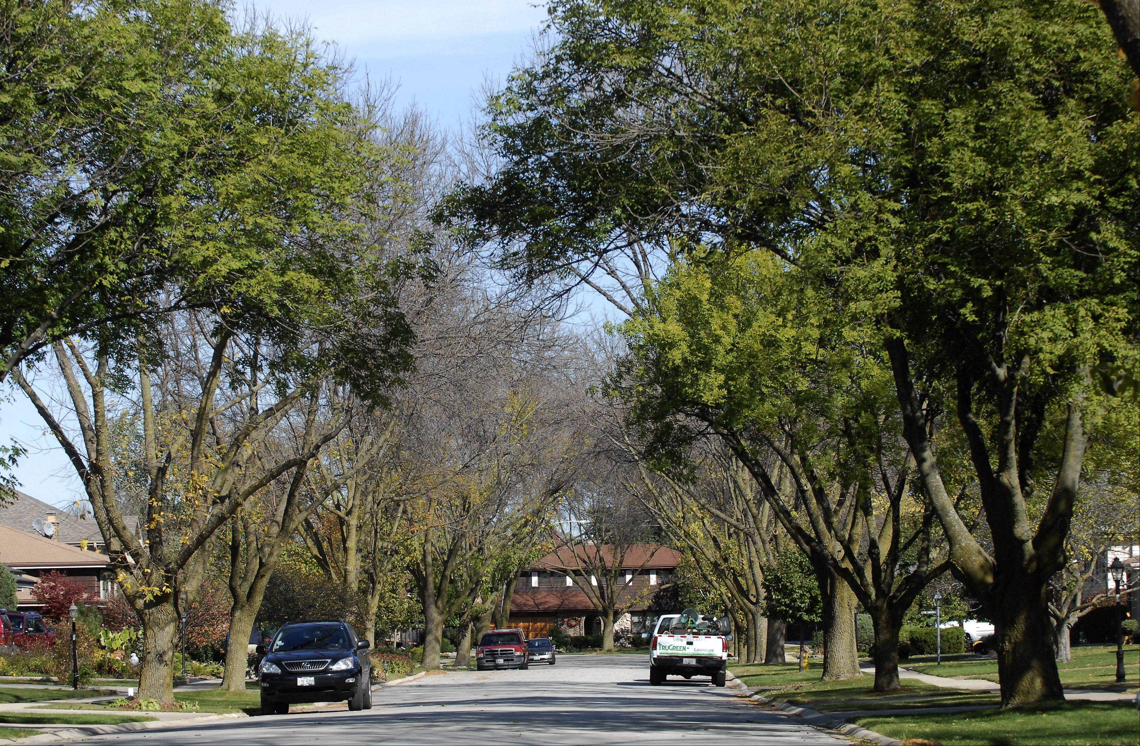 Trees on Grace Drive in Mount Prospect form a canopy over the street. Resident Carrie Brooks started a drive to save the ash trees on her block from the emerald ash borer. Thirteen parkway trees were treated at the expense of homeowners.