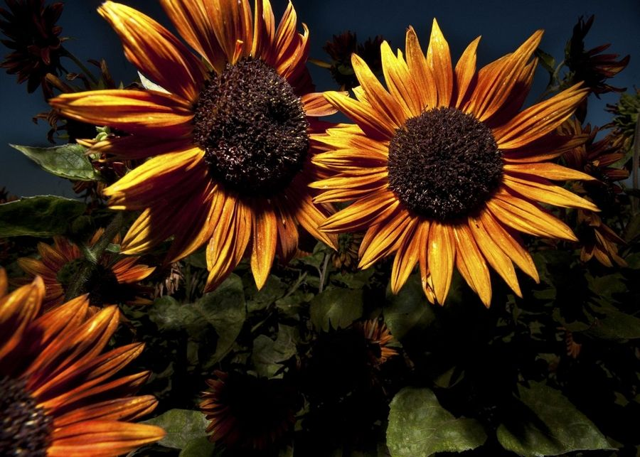 Brightly colored sunflowers have been developed in every hue but blue and are grabbing a growing segment of the cut-flower industry.