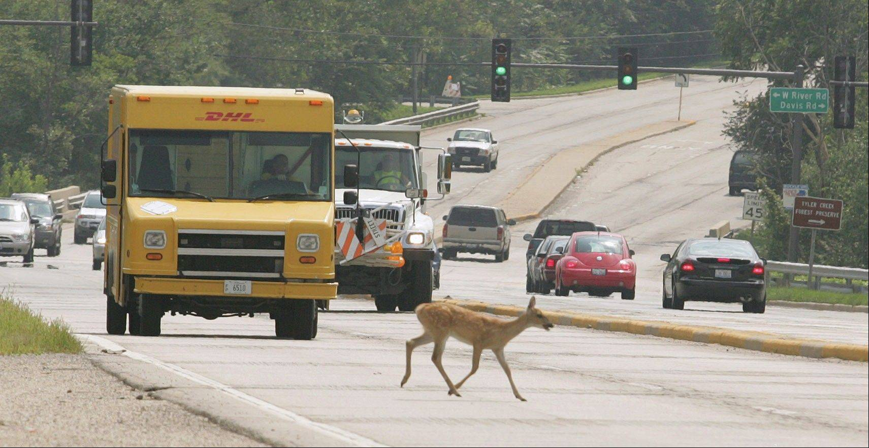 A doe makes a brave dash across Route 31 in Elgin. Illinois ranks third in the nation for deer-crash collisions.