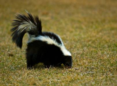 The skunk population in the area is at a record high. More than 700 skunks have been trapped to date this year as they scour neighborhoods in search of beetle grubs, berries and other delicacies.