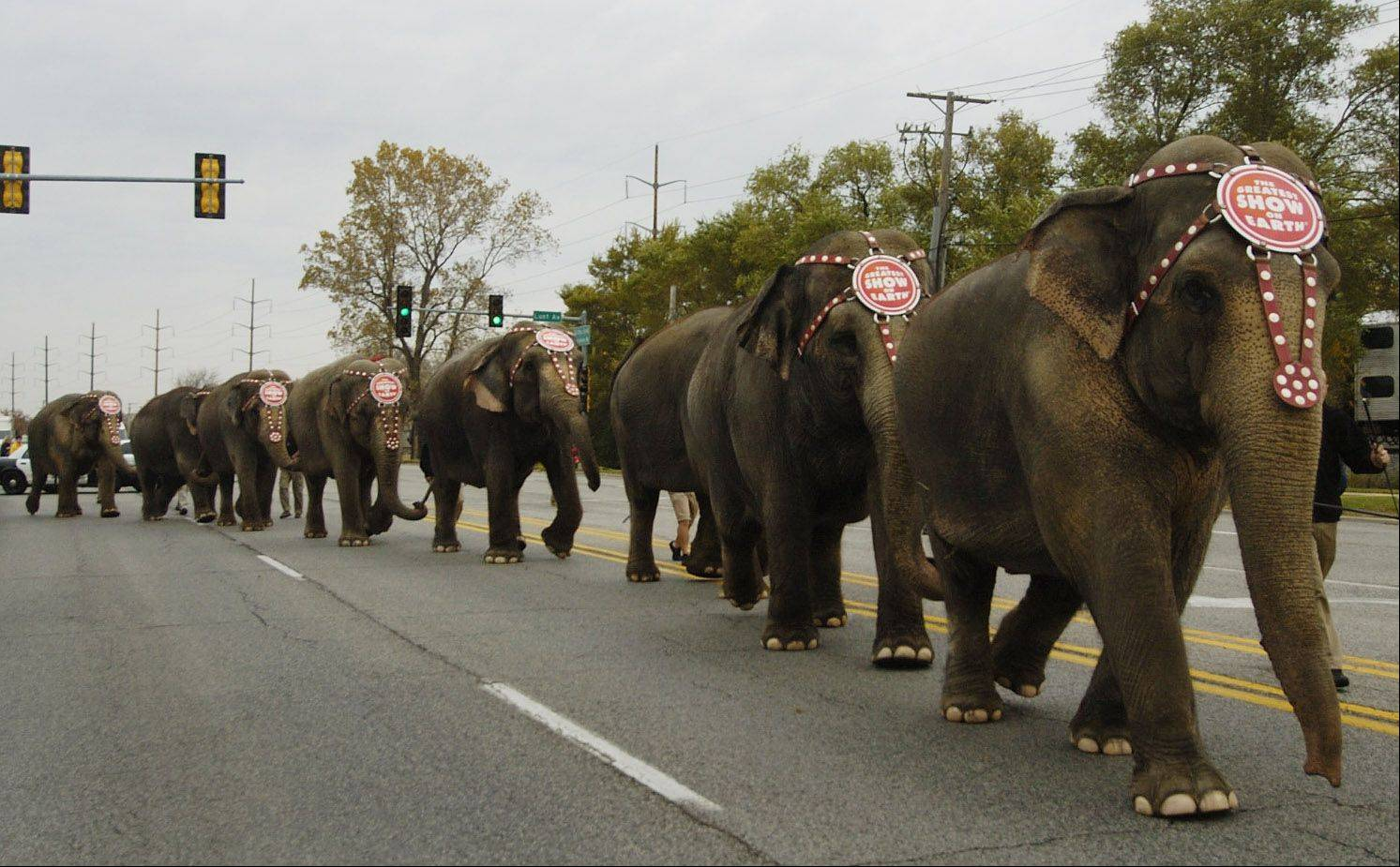 Bob Chwedyk/bchwedyk@dailyherald.com Ringling Bros. elephants walk down Mannheim Road from Allstate Arena to Orchard Place Elementary School in Des Plaines.