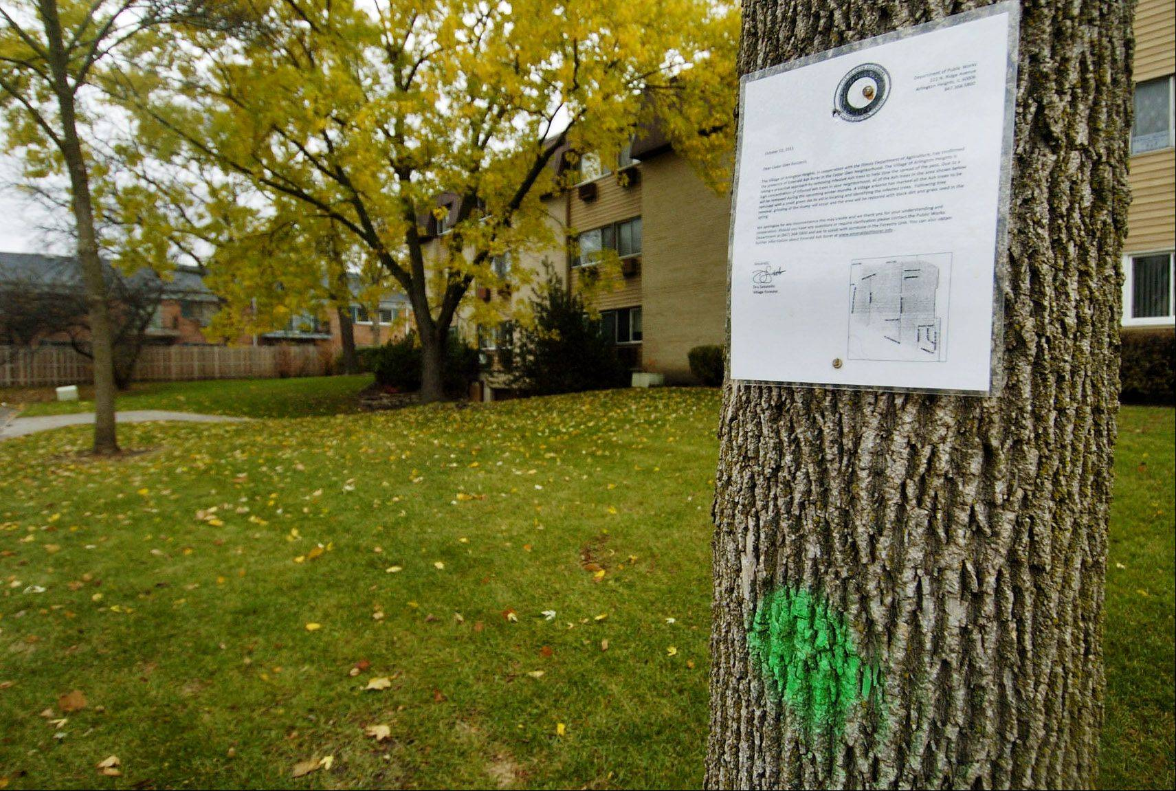 A notice posted by the Village of Arlington Heights explains how trees marked with a green dot will be cut down because of infestation by emerald ash borer. These two trees are in the Cedar Glen neighborhood.