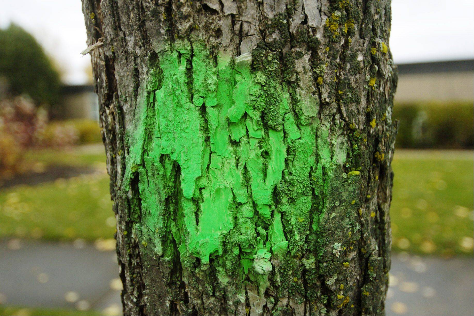A tree outside of Cedar Glen Condominiums is marked with a green dot indicating that it will be cut down because of emerald ash borer.