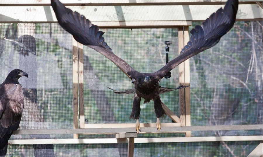 The eagles abandoned at Mooseheart in May have been rehabilitated at Flint Creek Wildlife Rehabilitation in Barrington and are ready to be released into the wild.
