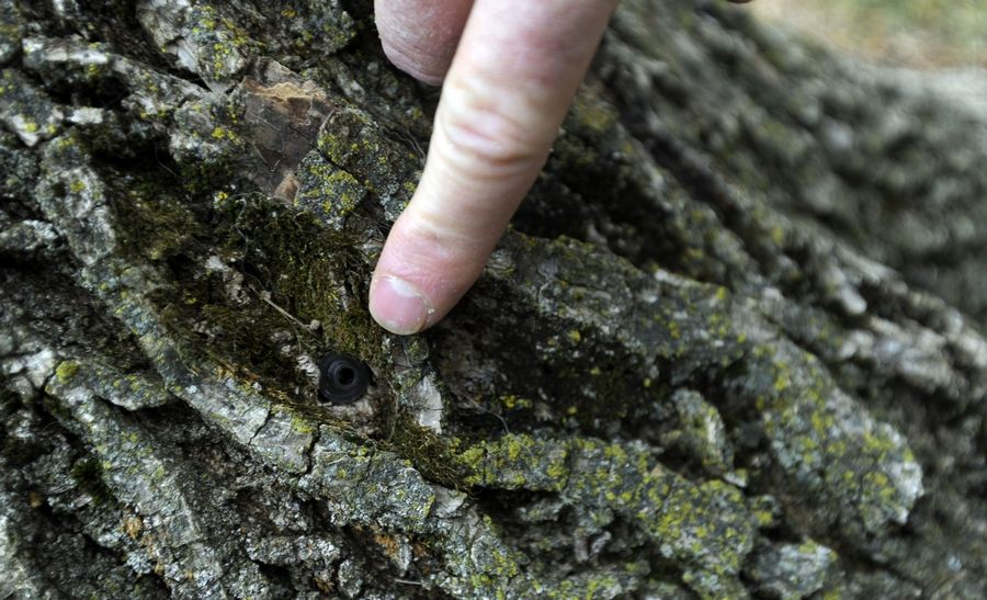 This ash tree in Arlington Heights shows a plug inserted after insecticide was injected to kill emerald ash borer.
