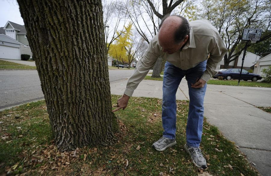 Arlington Heights resident Sam Moser organized a campaign to treat ash trees in the Heritage Park neighborhood of Arlington Heights. The insecticide is injected into holes around the trunk.