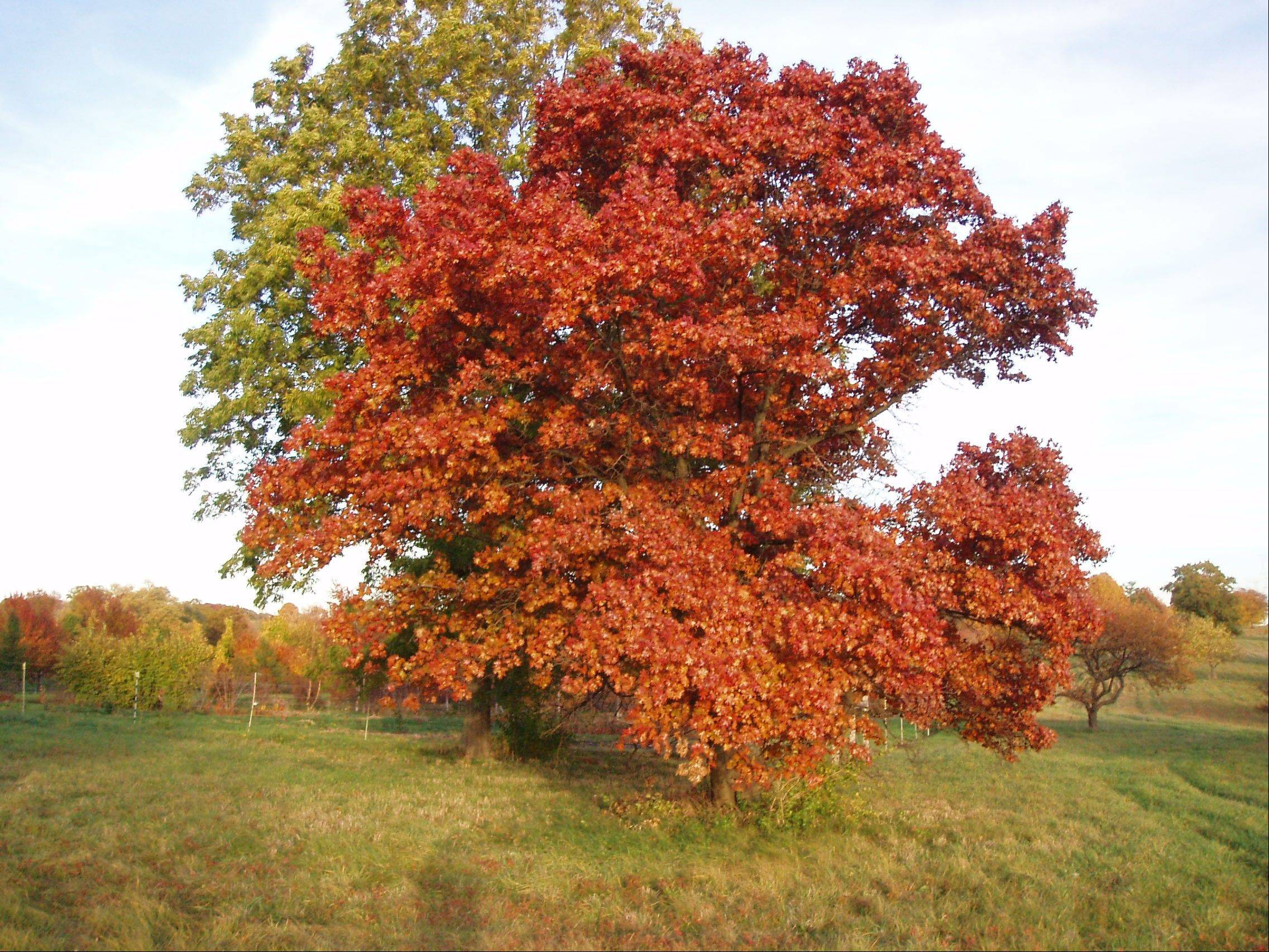 The mapleleaf oak is one of the endangered oaks that Andrea Kramer is studying.
