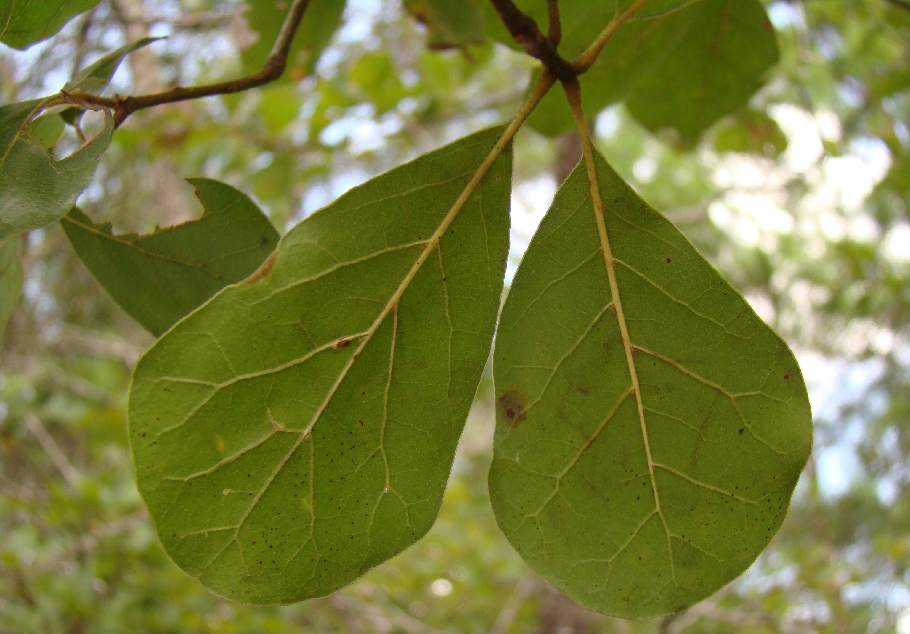 Andrea Kramer is studying the Arkansas oak, which is listed as vulnerable.