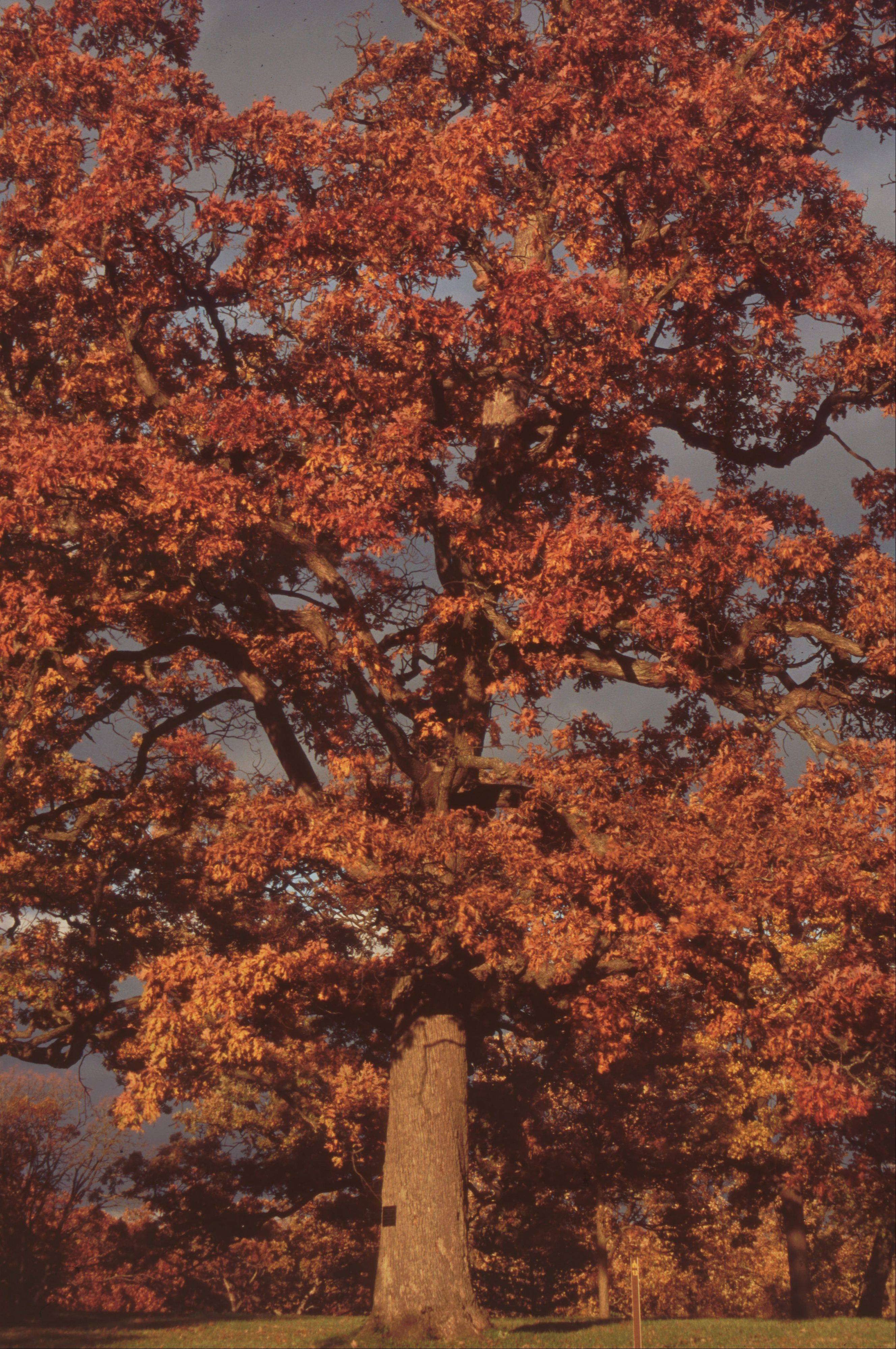 The white oak is the Illinois state tree.