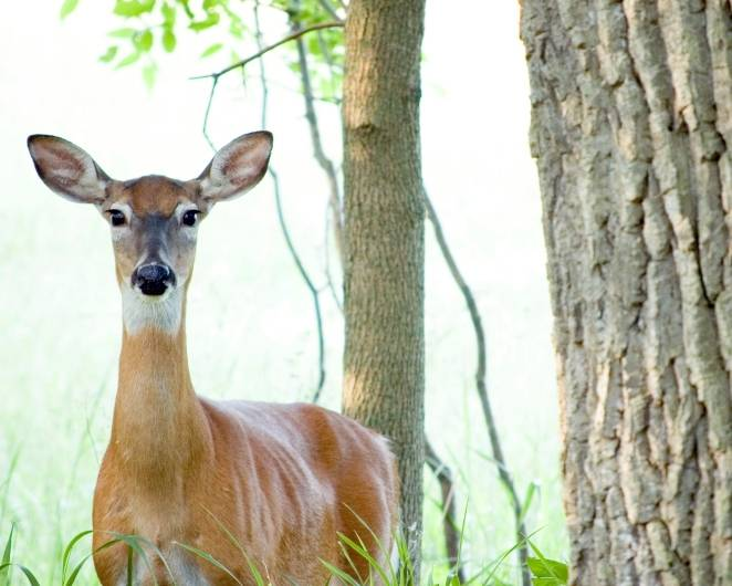 More deer culling coming to Kane County