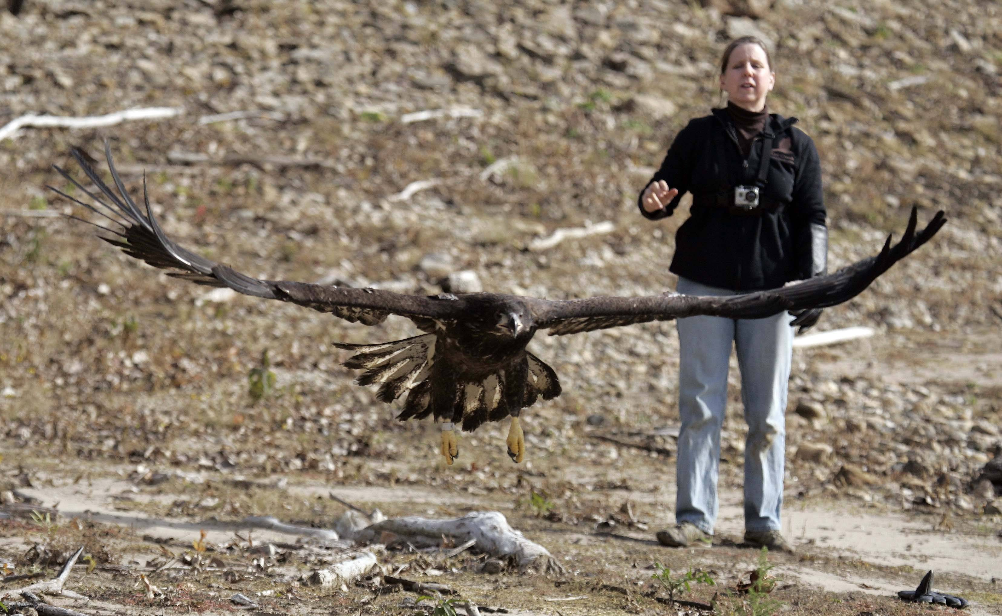 Dawn Keller releases the first of two eagles Saturday.