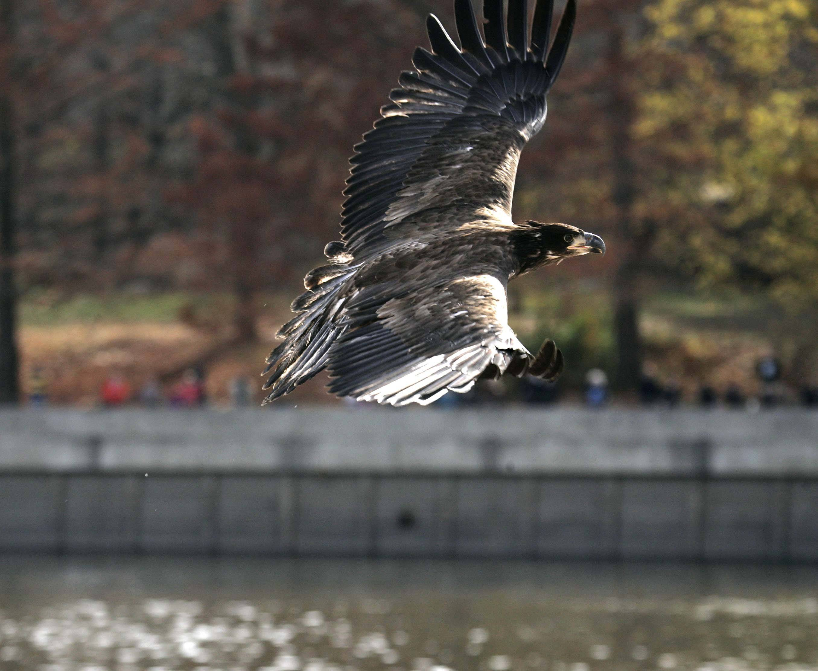 The second of two eagles released Saturday at Starved Rock State Park Utica takes flight.