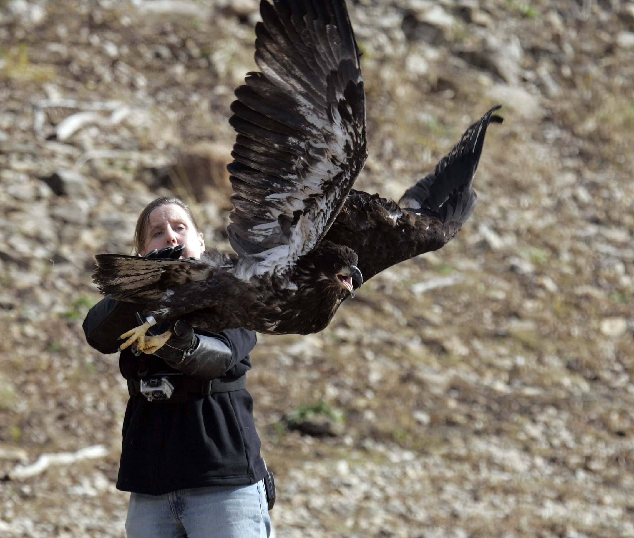 Brian Hill/bhill@dailyherald.comDawn Keller founder and director of Flint Creek Wildlife Rehabilitation releases the second of two eagles Saturday, November 12, 2011 at Starved Rock State Park Utica. The birds were rescued from a fallen nest at Mooseheart.