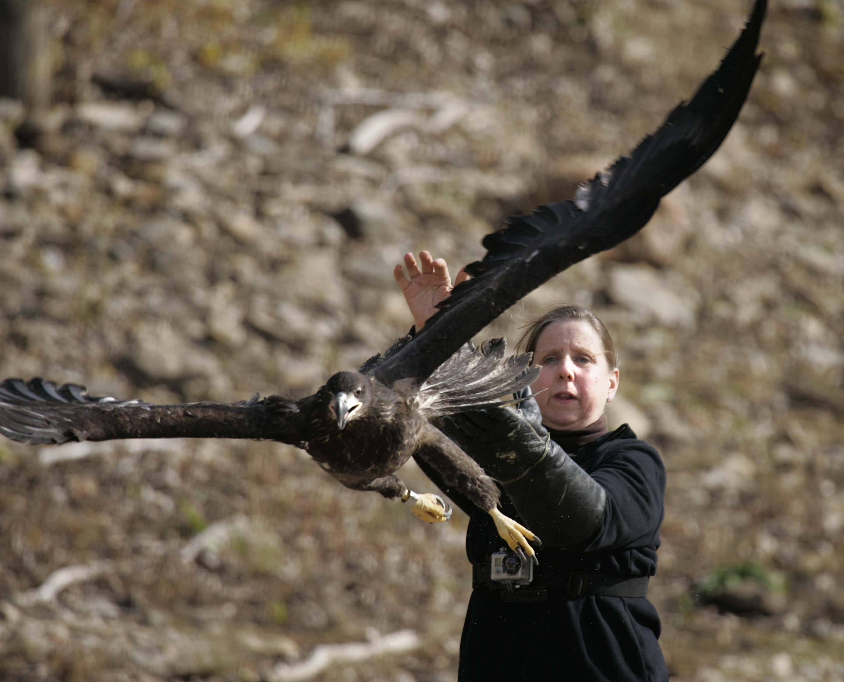 Brian Hill/bhill@dailyherald.comDawn Keller founder and director of Flint Creek Wildlife Rehabilitation releases the first of two eagles Saturday, November 12, 2011 at Starved Rock State Park Utica. The birds were rescued from a fallen nest at Mooseheart.