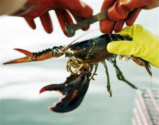 A lobster is measured off of Cundy's Harbor, Maine, to determine whether it is of legal size to keep. A new law takes effect this week allowing Maine lobster companies to process out-of-state lobsters that are larger than Maine's legal maximum size. Most of the oversized lobsters come from Canada, where dealers send large shipments of ungraded lobsters to Maine processors in winter and spring.
