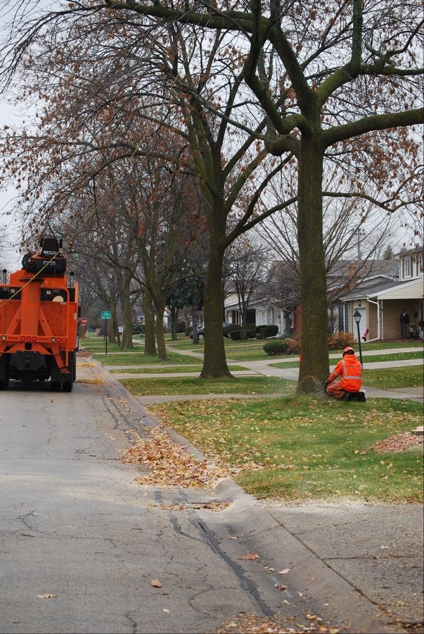 Workers remove trees infested with the Emerald Ash Borer on the 1800 block of Willow Lane in Mount Prospect