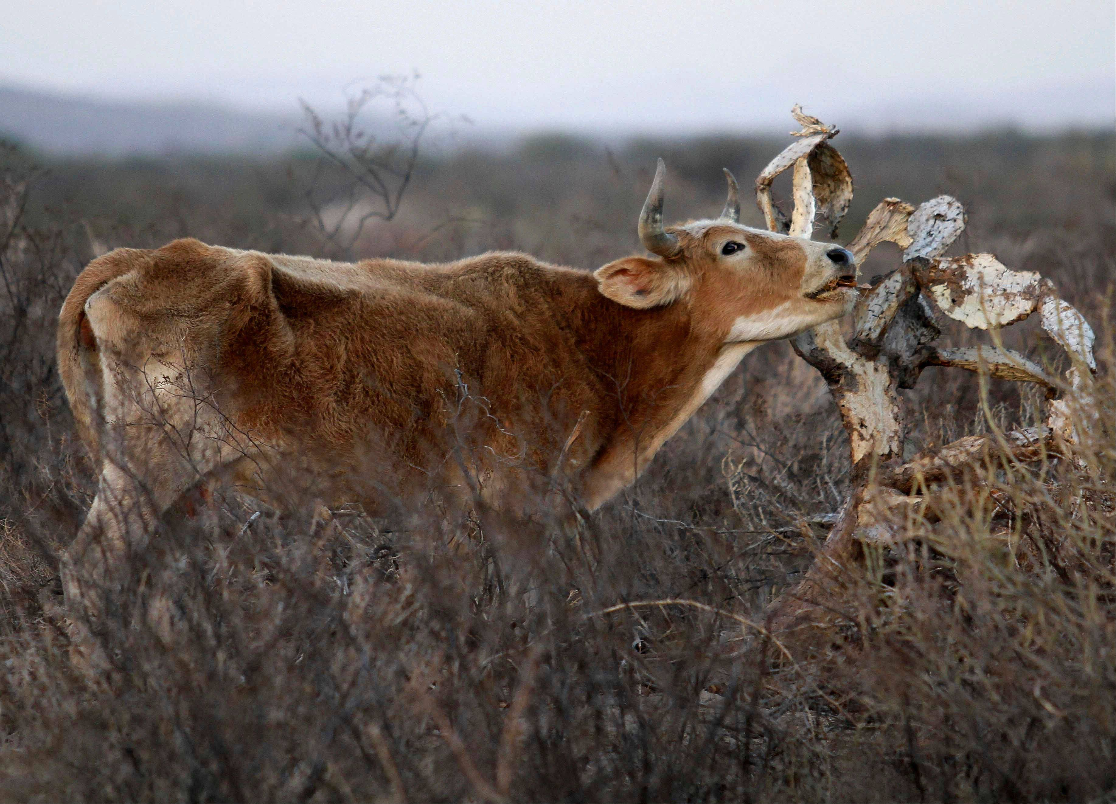 A cow tries to eat from a dried out cactus on a field near the city of Torreon, Mexico. Mexico is seeing the worst drought since 1941, when the country began recording rainfall.