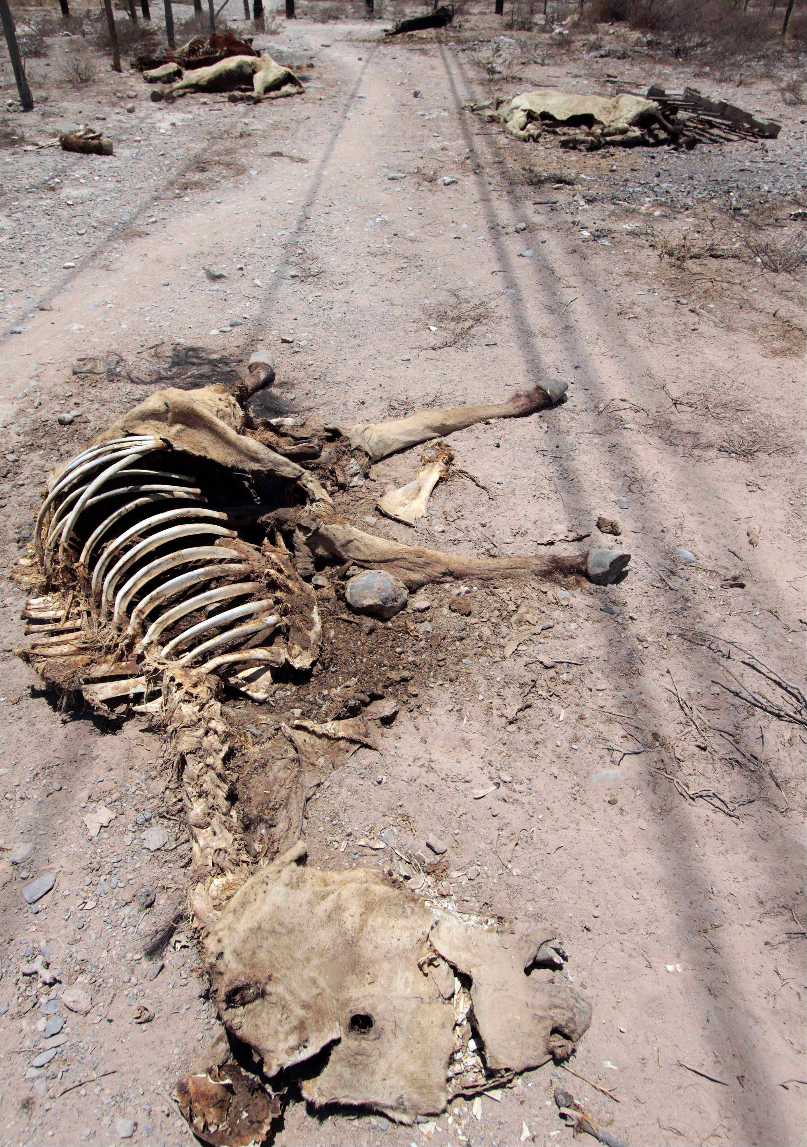 The remains of dead animals lay on a rural road on the outskirts of Torreon in northern Mexico.