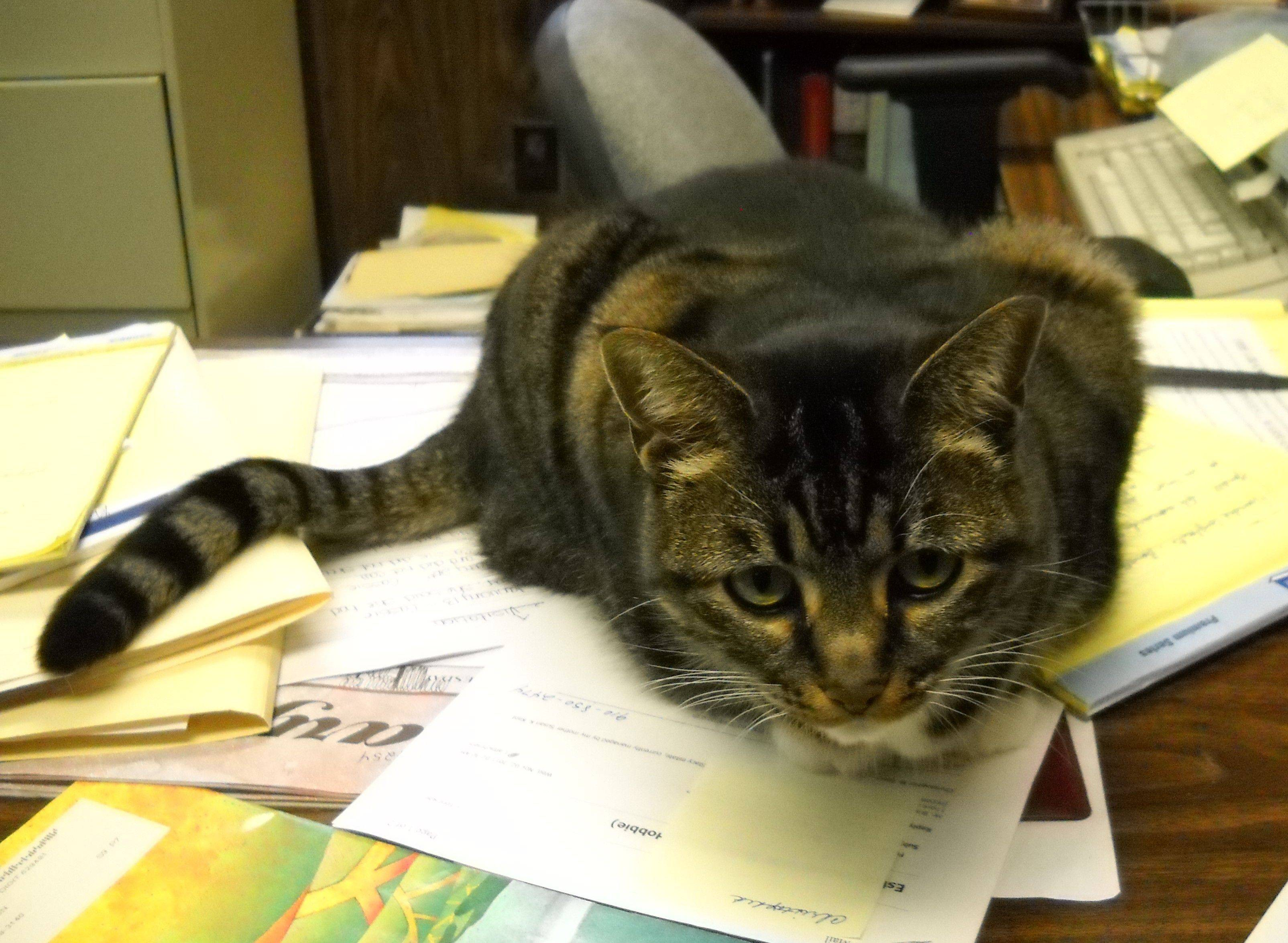 Callie, the other Brandon law office cat, doesn't understand all the fuss surrounding Comiskey's return. She's not supposed to be on the desk, by the way.