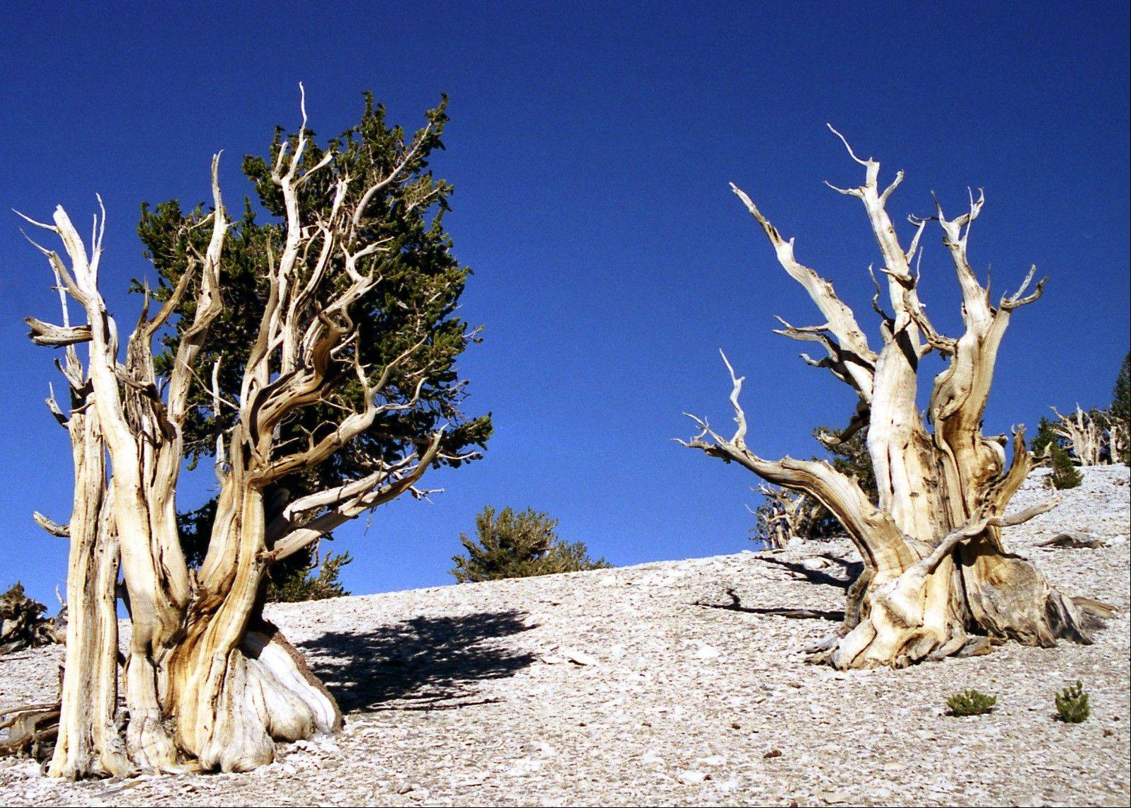 The bristlecone pine is among the world's threatened species.