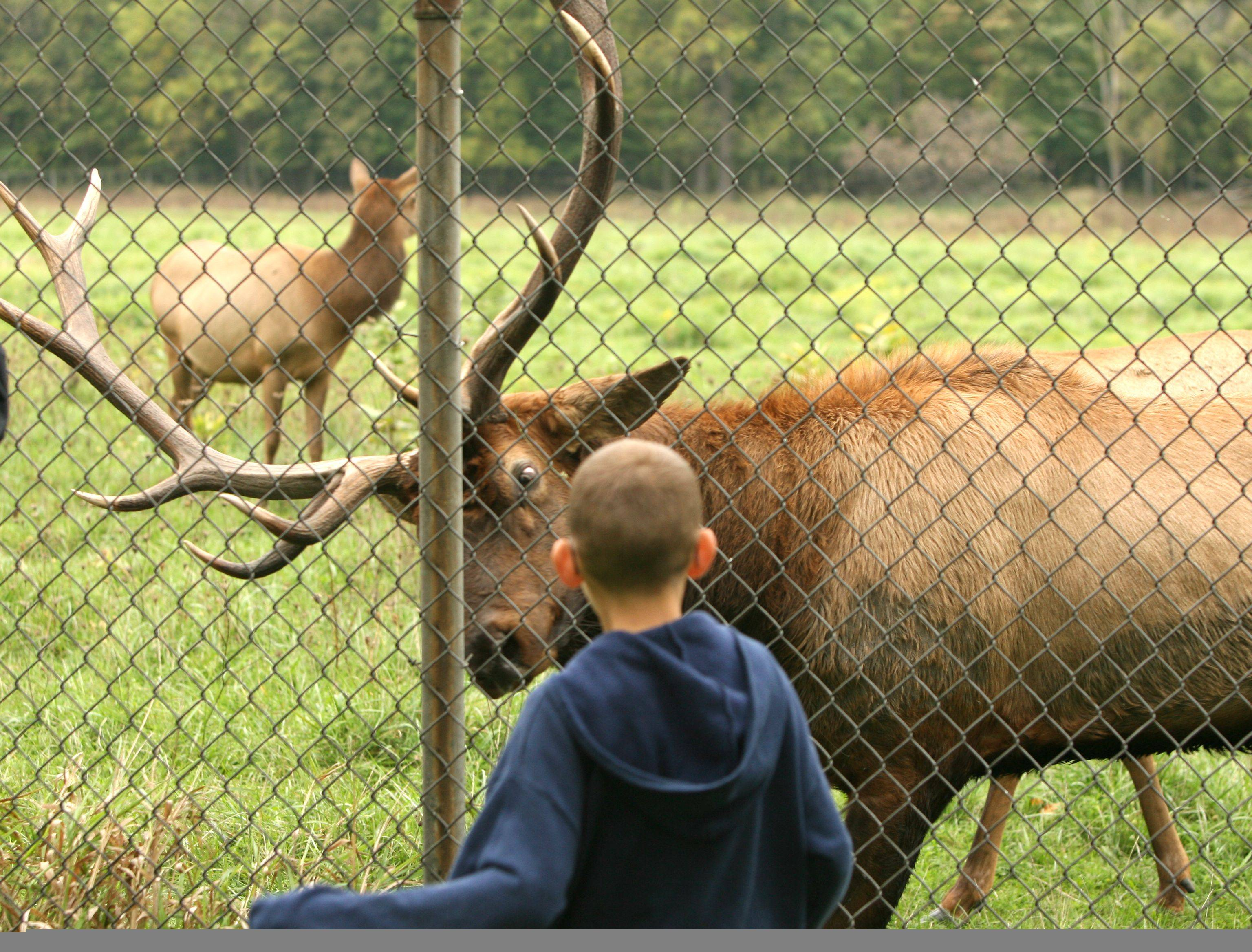 Visitors to the elk herd at the Ned Brown Forest at Busse Woods near Elk Grove Village can easily spot most of the animals by walking around a 14-acre pen located at the corner of Higgins and Arlington Heights roads.