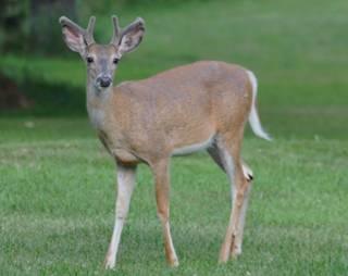 Dundee Township trustees voted to let the Illinois Department of Natural Resources kill 30 white-tailed deer in Salamander Springs. State biologists are trying to prevent the spread of chronic wasting disease.