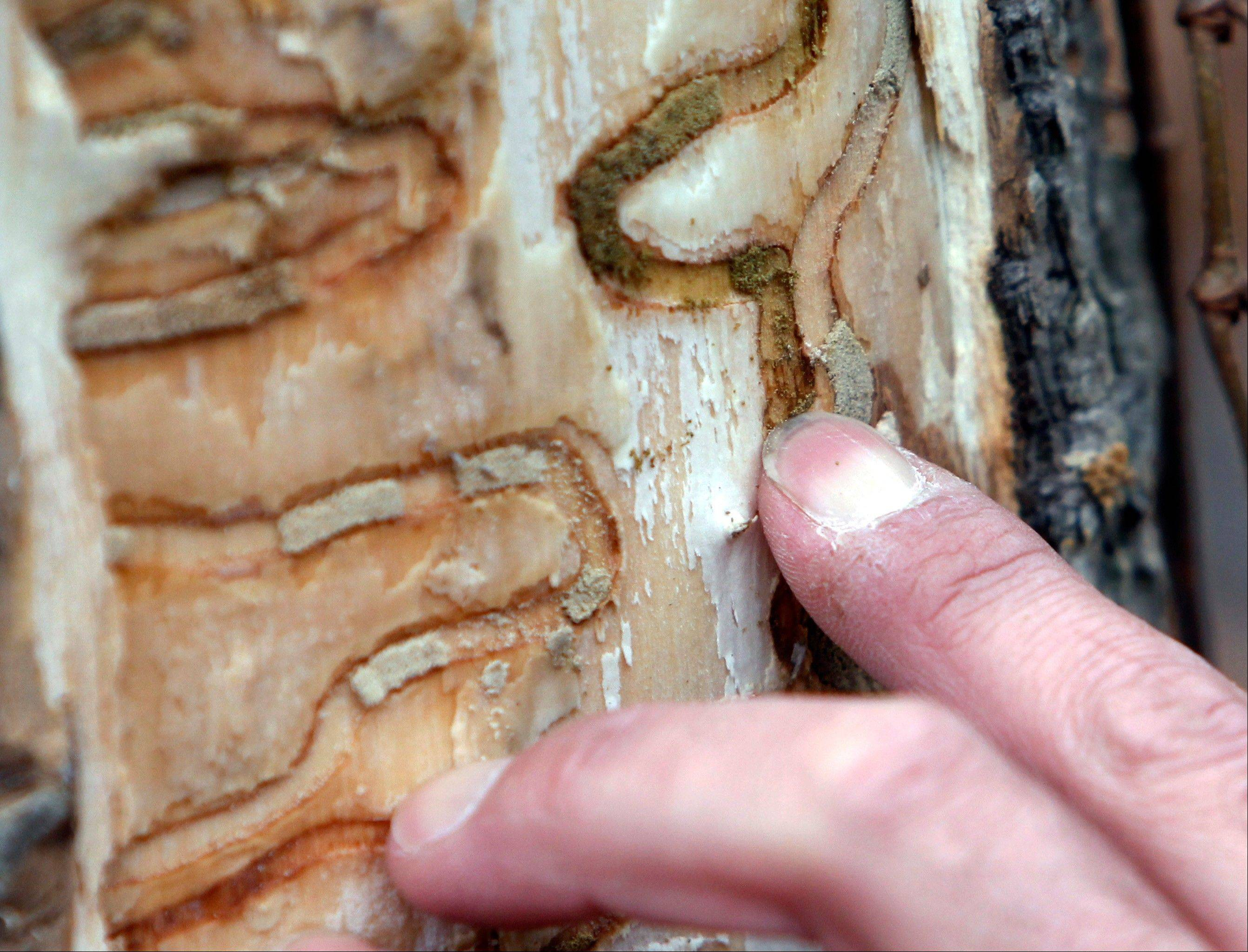 Forester Jeff Wiegert of the New York State Department of Environmental Conservation points out the markings left from emerald ash borer larvae on an ash tree in October at Esopus Bend Nature Preserve in Saugerties, N.Y.