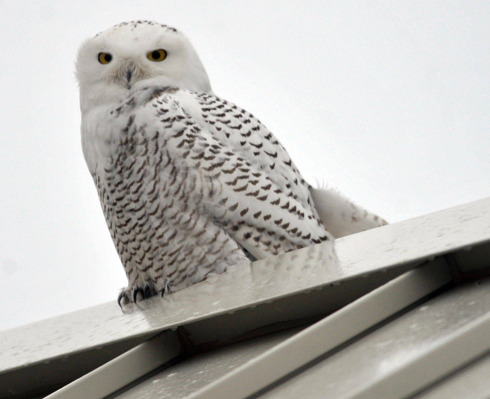 Outdoors notes: Snowy owl sightings