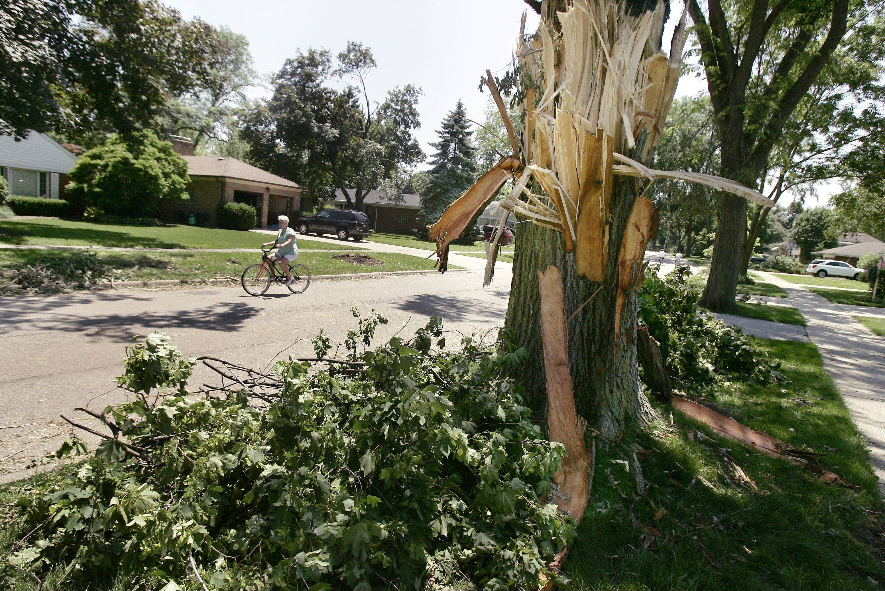 An older tree is shredded due to the winds along Can-Dota Avenue in Mount Prospect that destroyed a large number of trees.