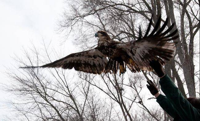 Bald Eagle Watching Days will be held in January at Prairie du Sac, Wis. $PHOTOCREDIT_ON$Photo courtesy of Kurt Eakle$PHOTOCREDIT_OFF$