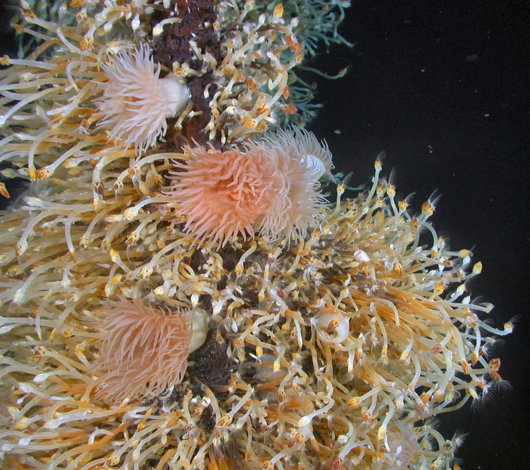 Anemones found living near deep-sea hot springs just north of Antarctica. Oceanographers say they have uncovered the most strikingly unique assemblage of life forms found in decades.