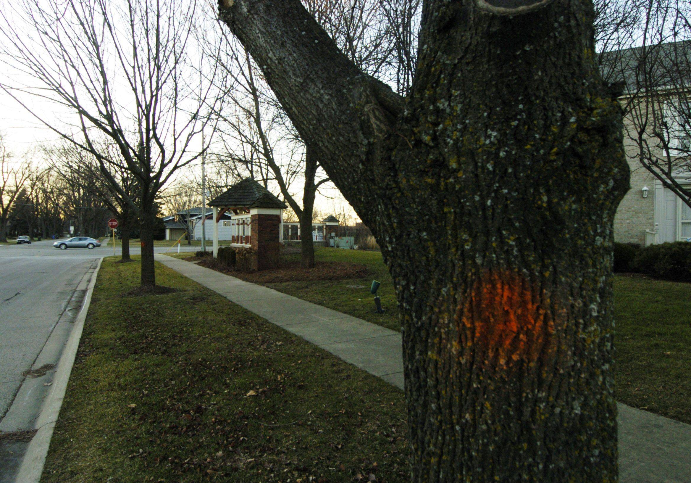 Paint marks an ash tree to be cut down along Kylemore Drive in Des Plaines.