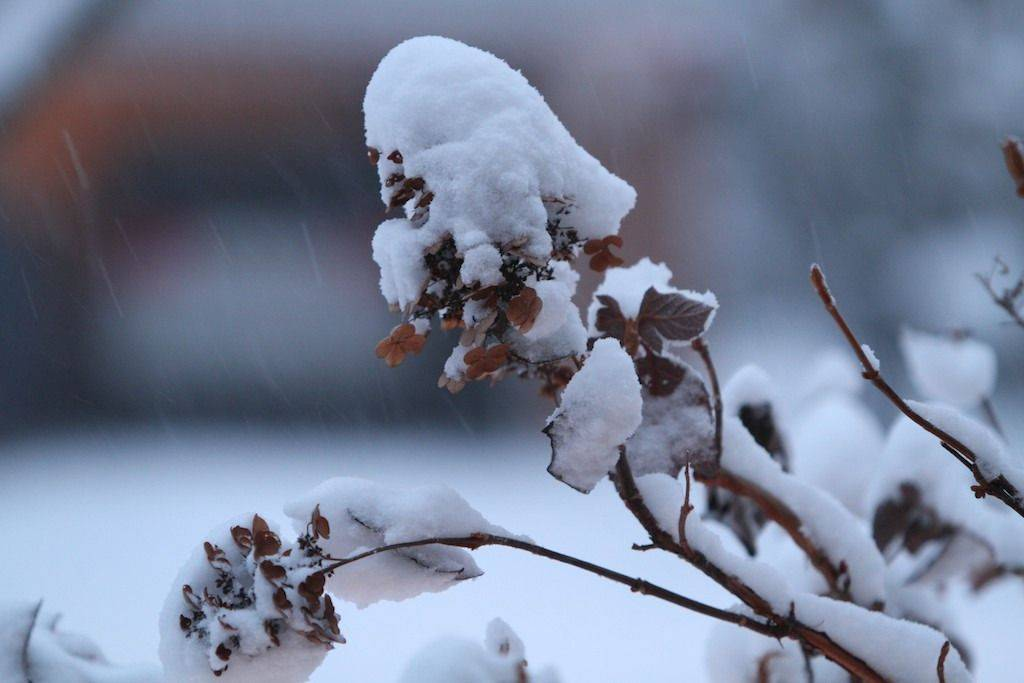Snow on oakleaf hydrangea