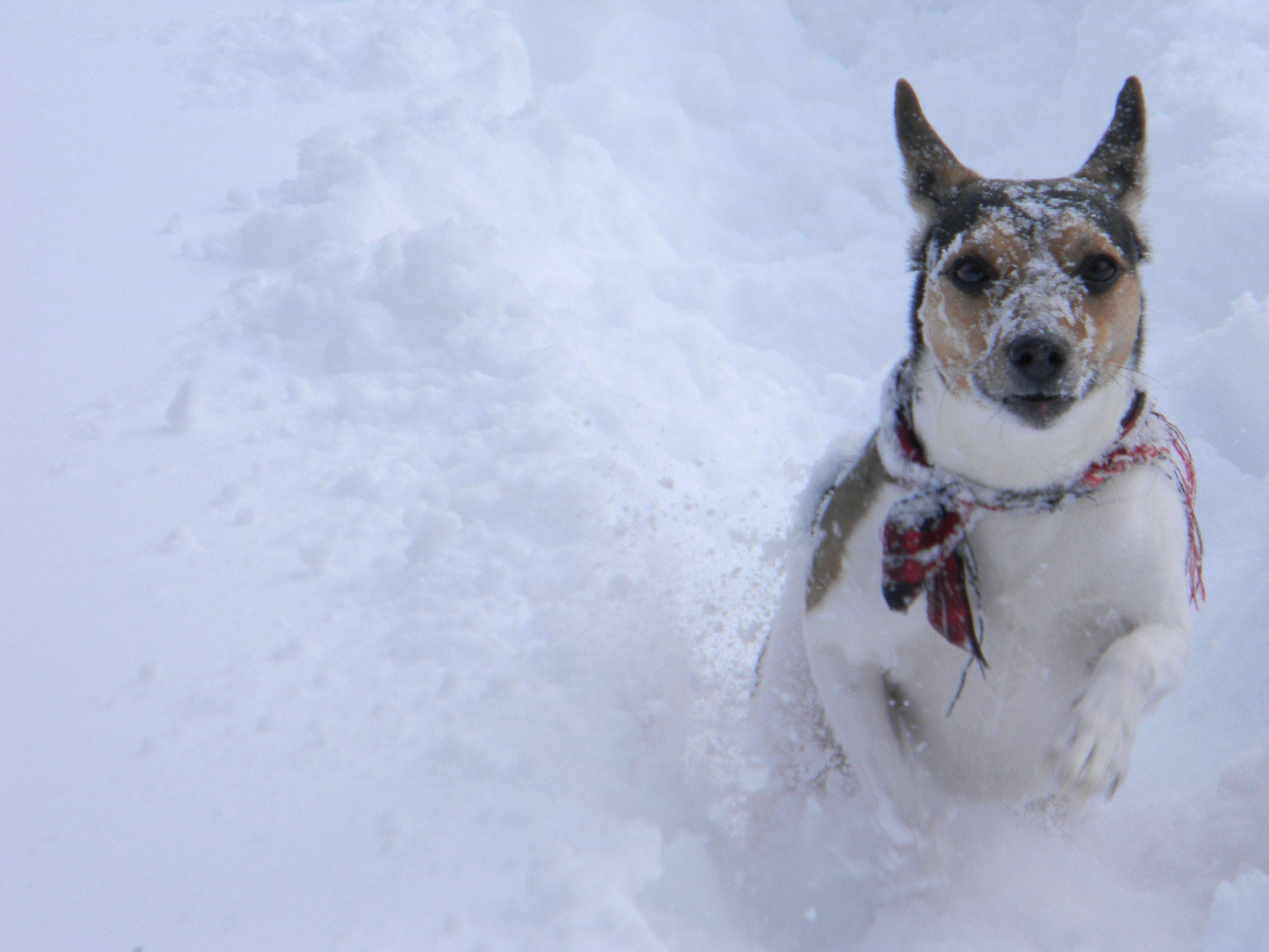 My rat terrier Alvin enjoying the snow.