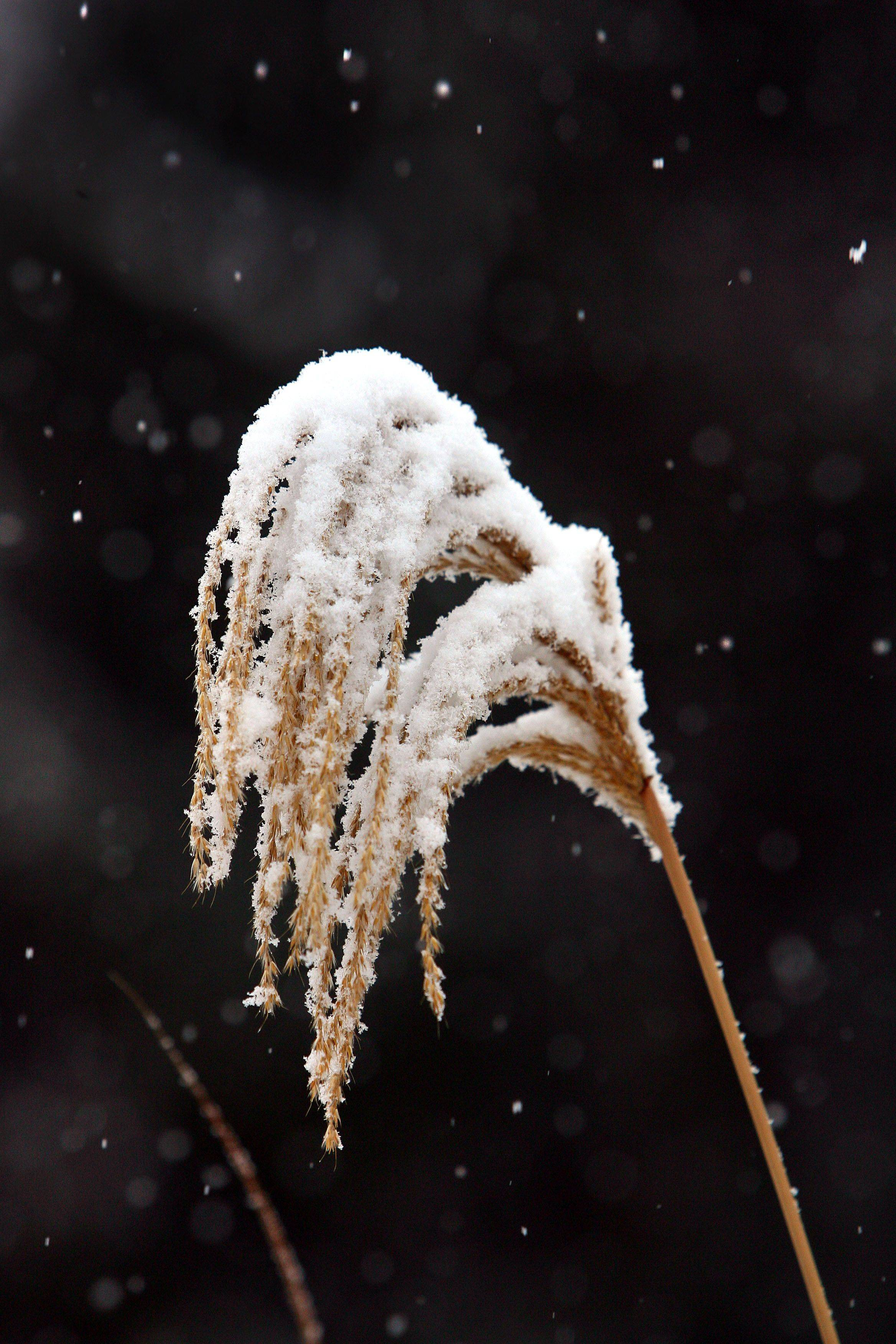Snow bends a plant stem as the first winter storm of the year hit the area Thursday.