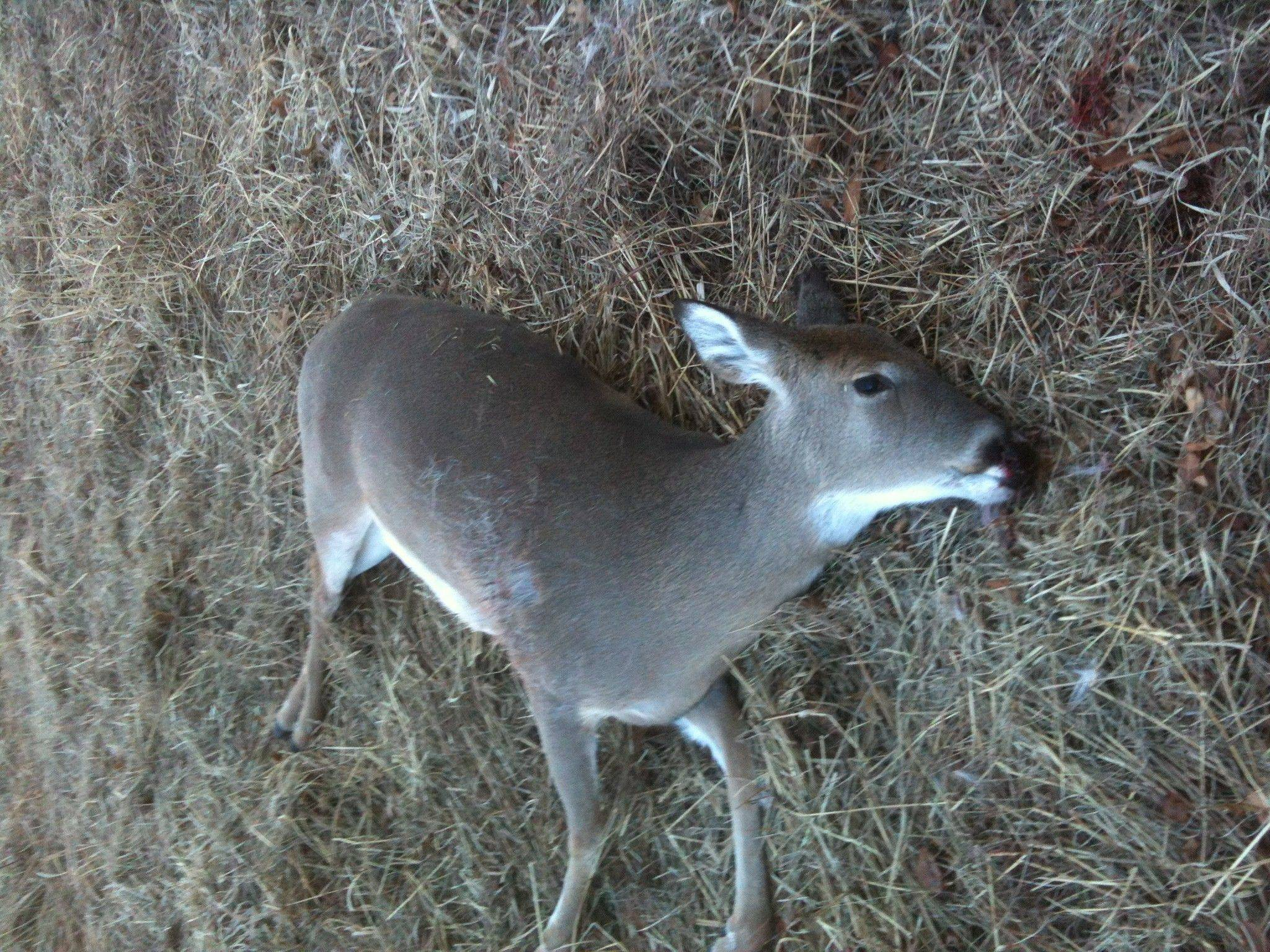 A Wheaton man found this doe, apparently killed by a firearm, last Tuesday in Timber Ridge Forest Preserve near West Chicago.