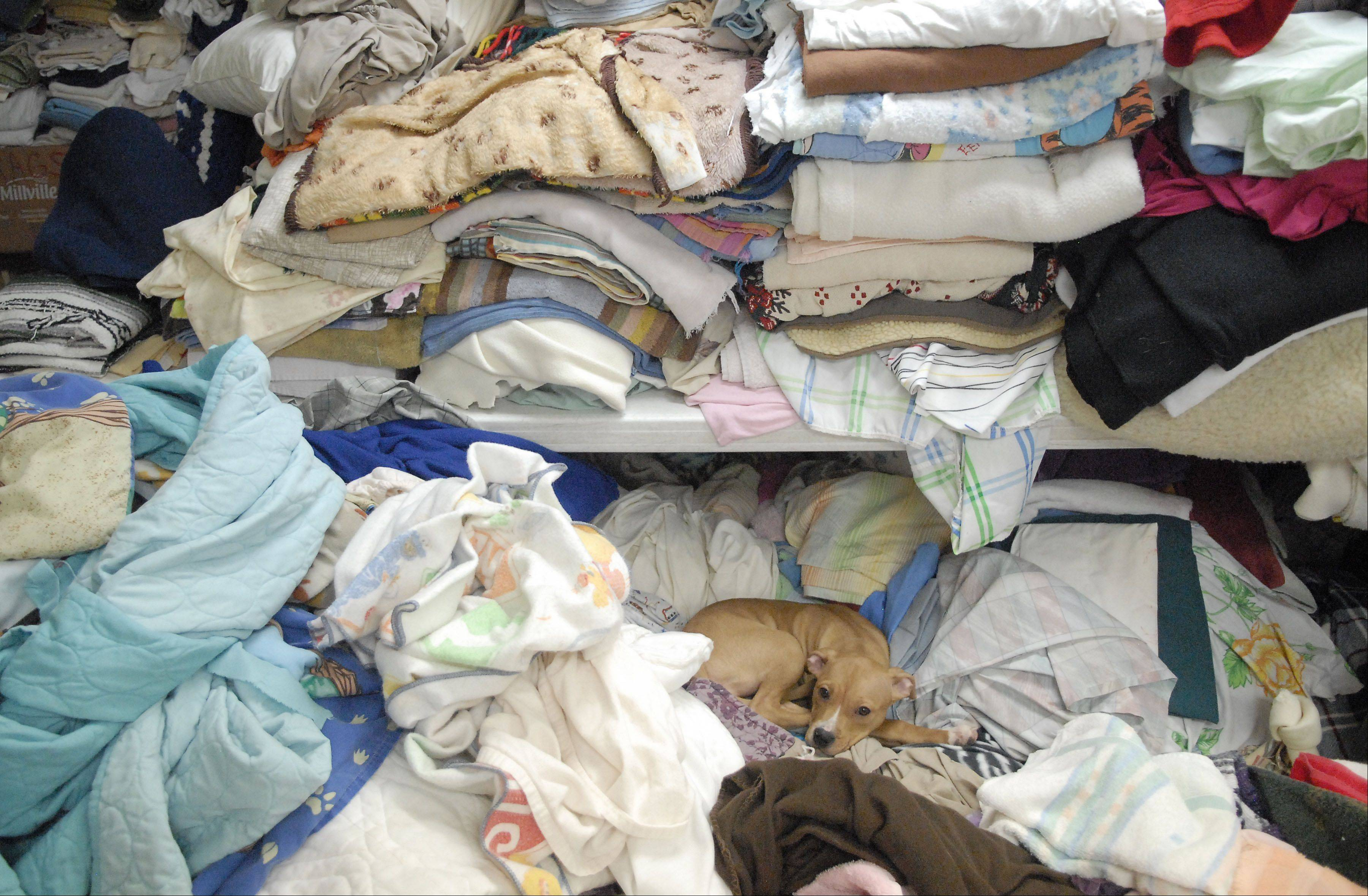 Three-month-old Fergie the Dog awakes from her nap atop a pile of bedding headed for the wash.