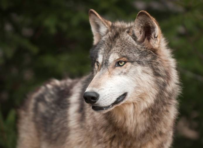 State and federal officials say the level of protection for gray wolves in Illinois will depend on where they might roam.