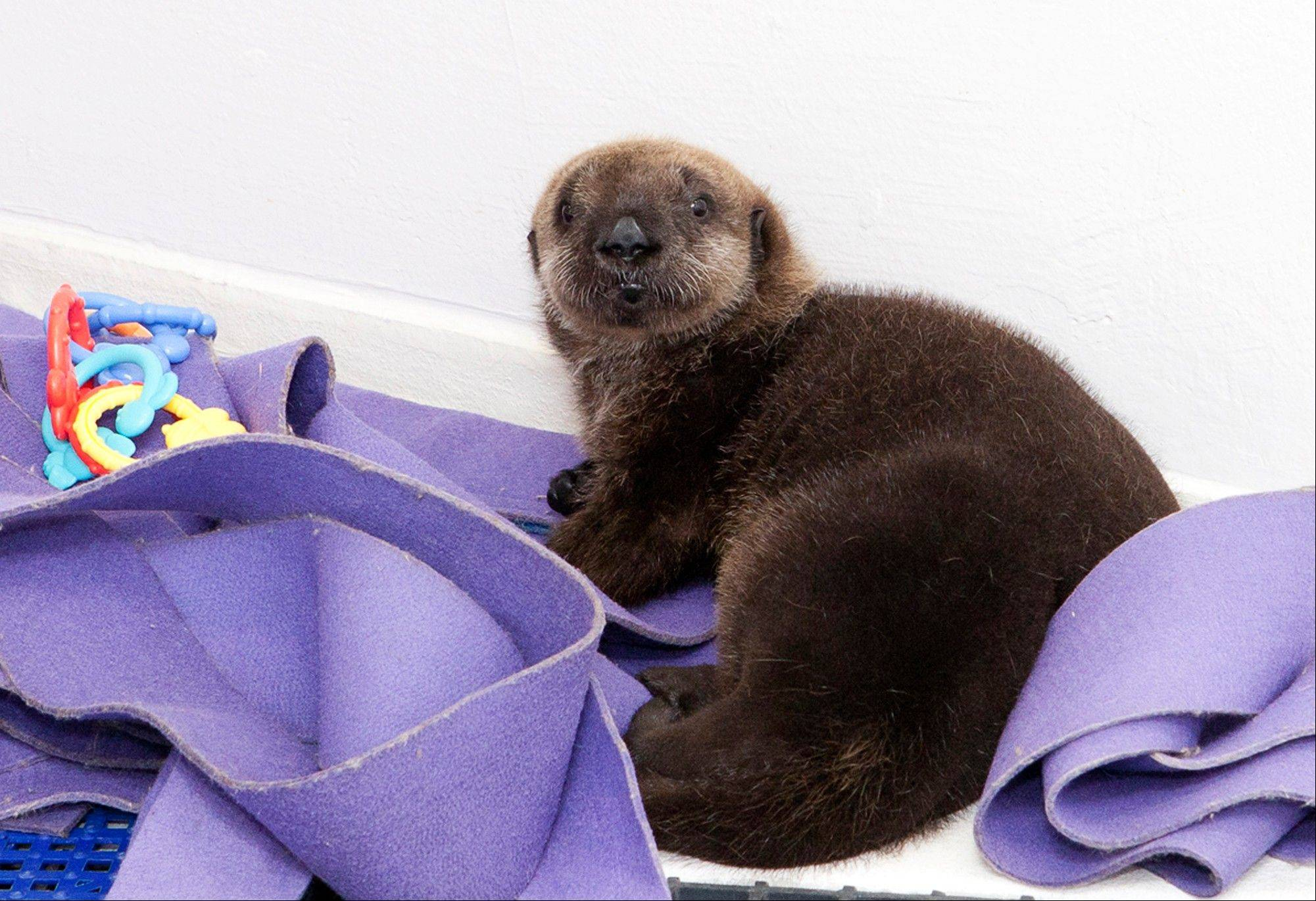 This female otter pup was found stranded near Cayucos, Calif., in December. She is staying at the Shedd's Regenstein Sea Otter Nursery, where she is receiving 24-hour care.