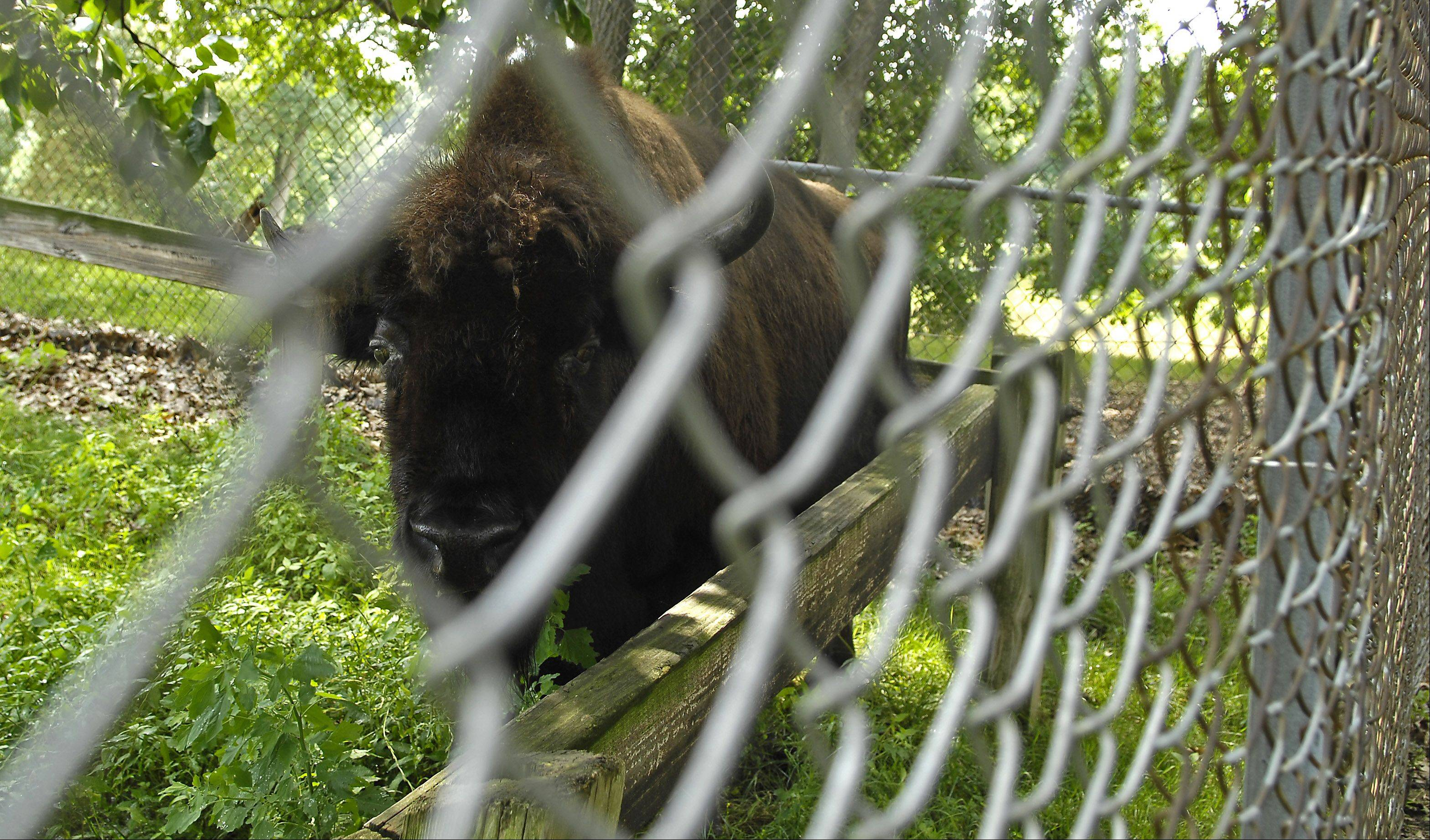 Partnership brings bison fence to Elgin's Lords Park