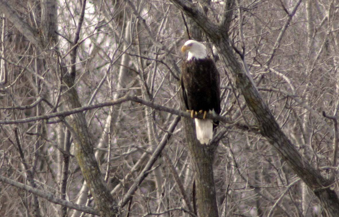 An eagle perches in a tree on the Fox River just North of the Kimball Street Bridge Tuesday in Elgin. Patrons of the Gail Borden Public Library were happy to see the birds back after welcoming them last year.
