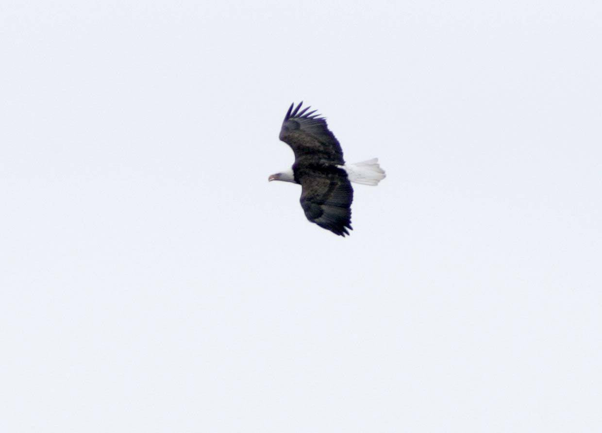 On the lookout for food, an eagle soars along the Fox River just north of the Kimball Street Bridge Tuesday in Elgin.