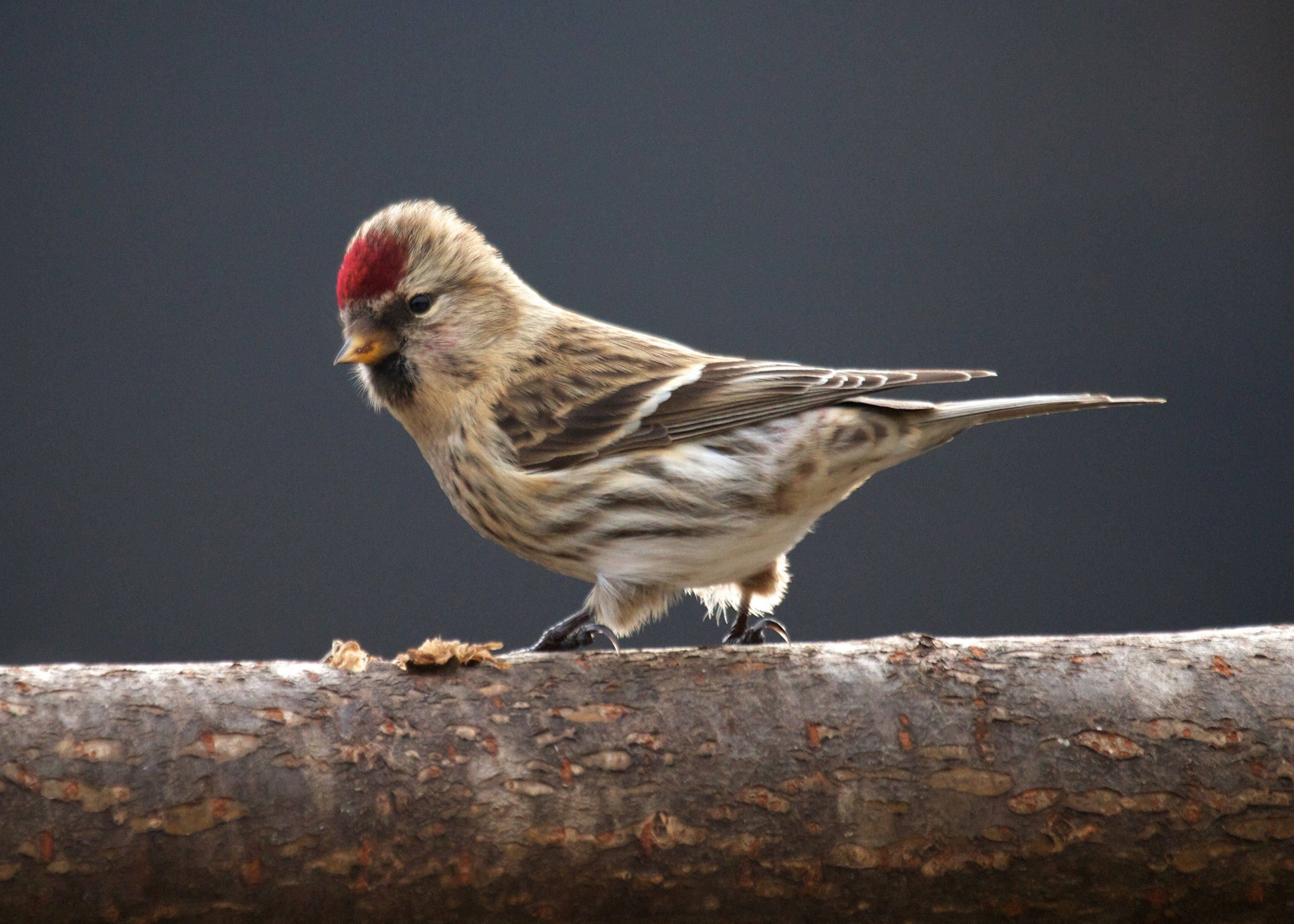 The common redpoll is a rare and coveted backyard visitor. This one dined at a Hinsdale feeder last month.