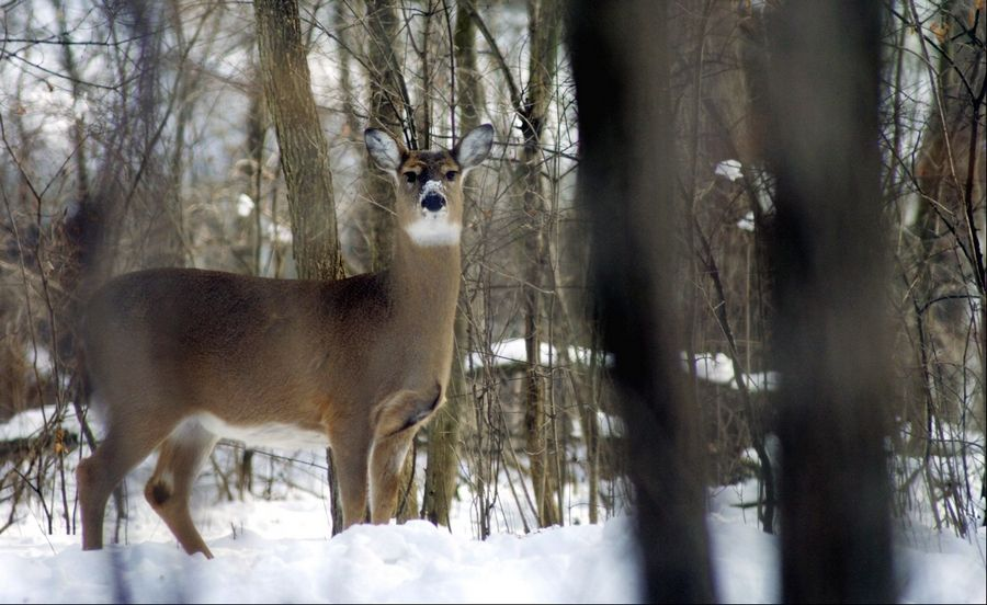 A deer heads into a wooded area after grazing in the front yard of a house in the Wildrose subdivision in St. Charles.