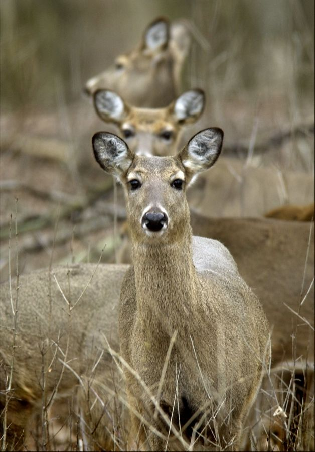 Three whitetail deer look up from feeding. The culling of deer in Kane County to test for chronic wasting disease has been a controversial subject.