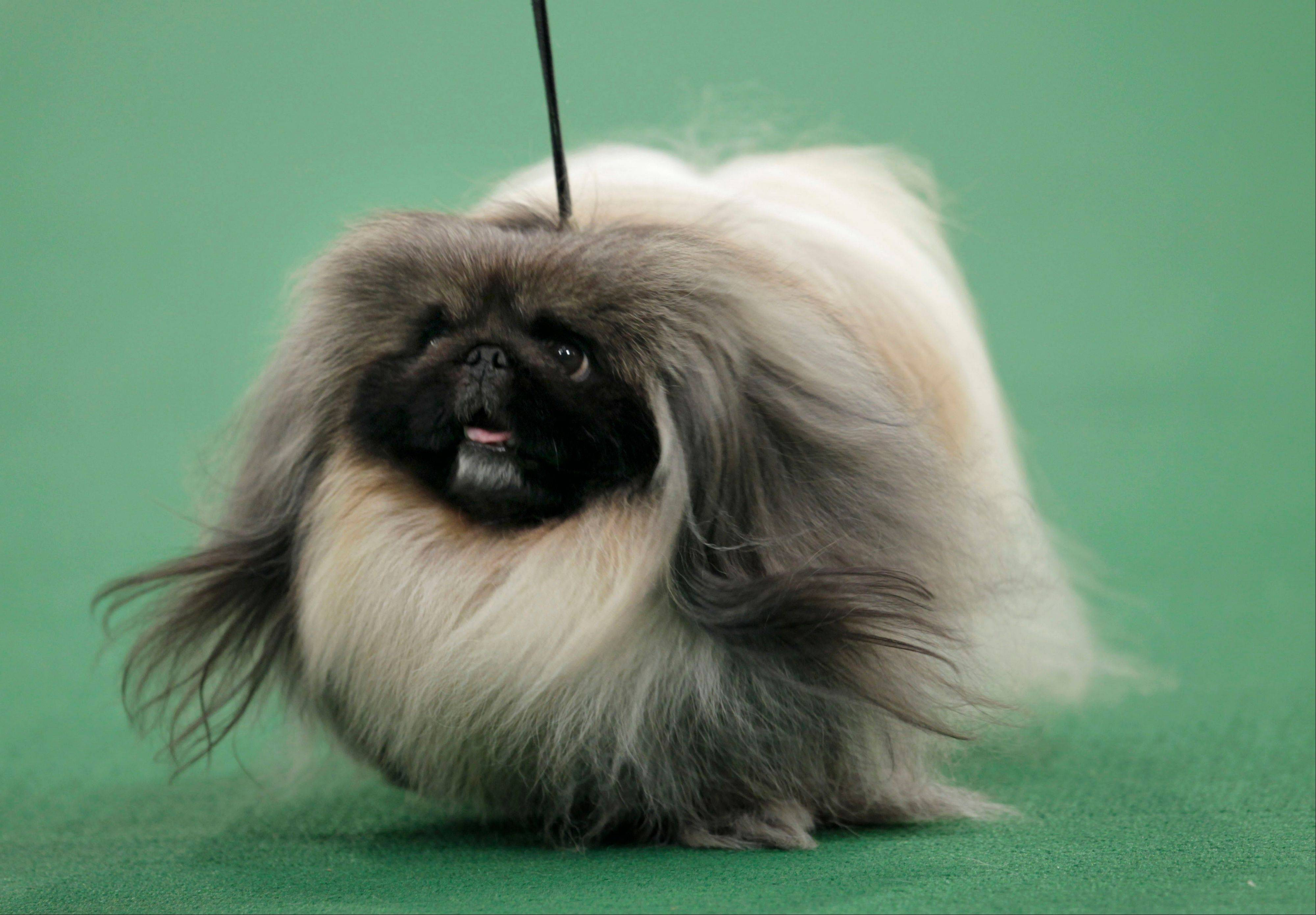 Images: Westminster Kennel Club Dog Show