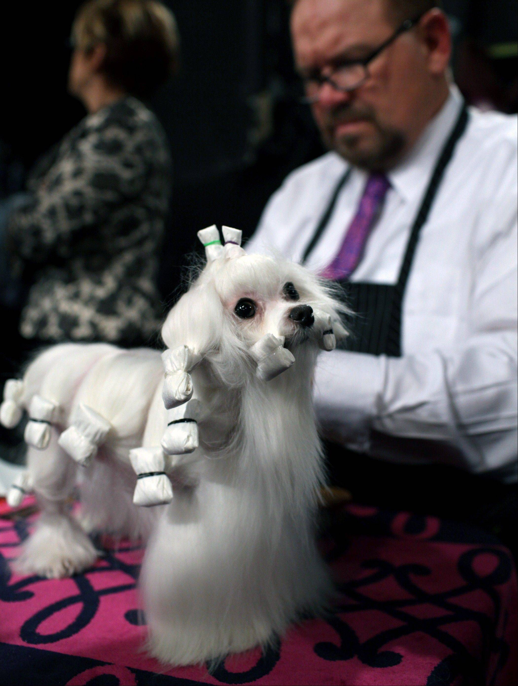 Dottie, a maltese owned by Beverly Quilliam and Wayne Baker of West Chester, Pa., is groomed by Luke Ehricht of Toledo, Ohio.