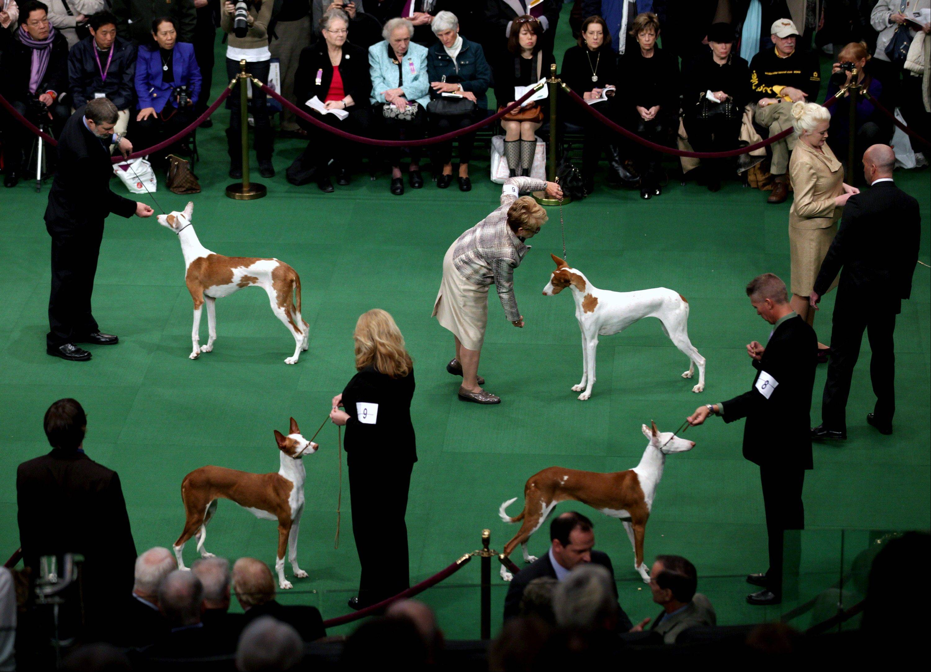 Ibizan Hounds are shown the ring.