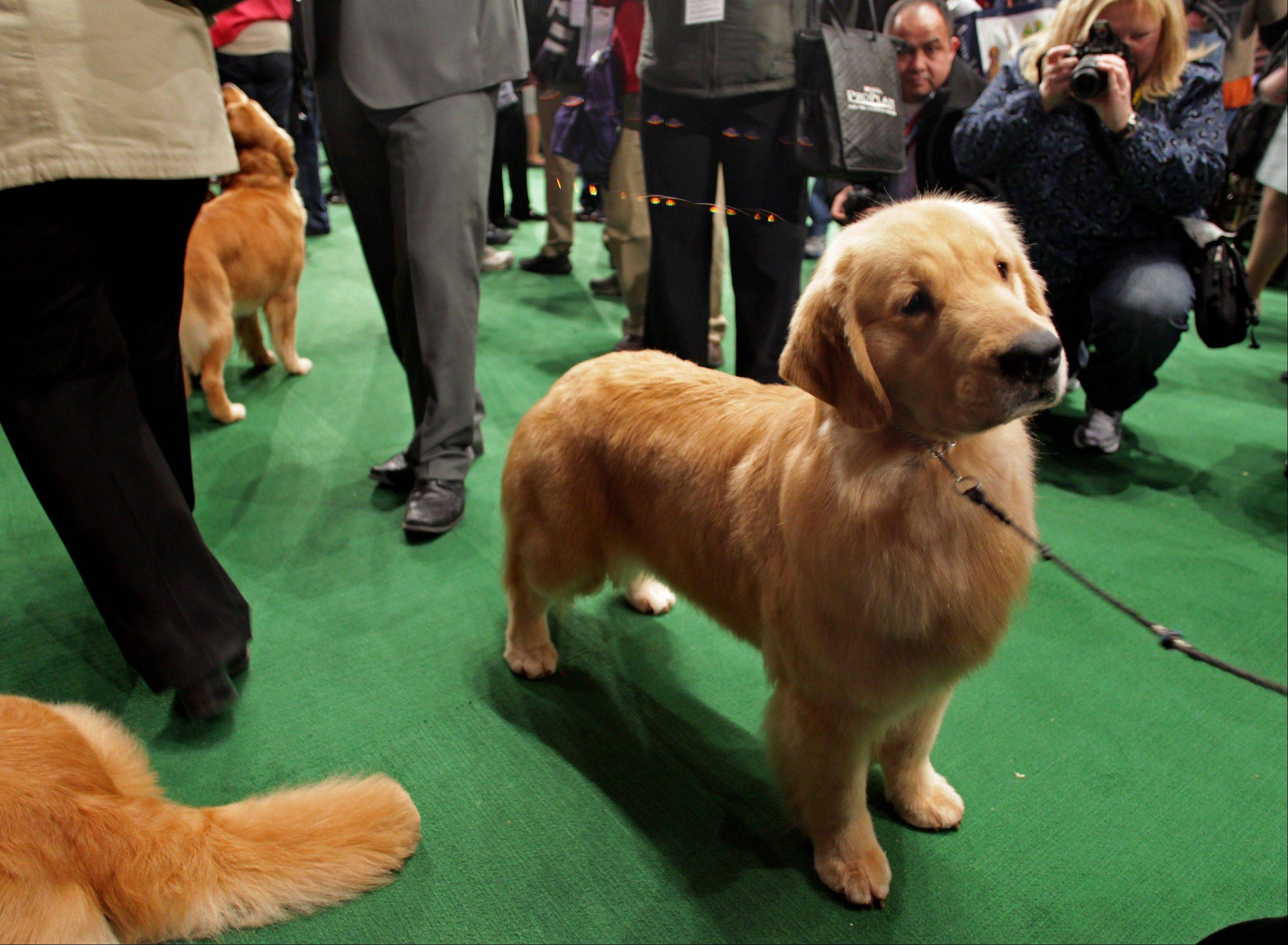 A golden retriever named Chloe, from Green Bay, Wis., awaits her breed competition.