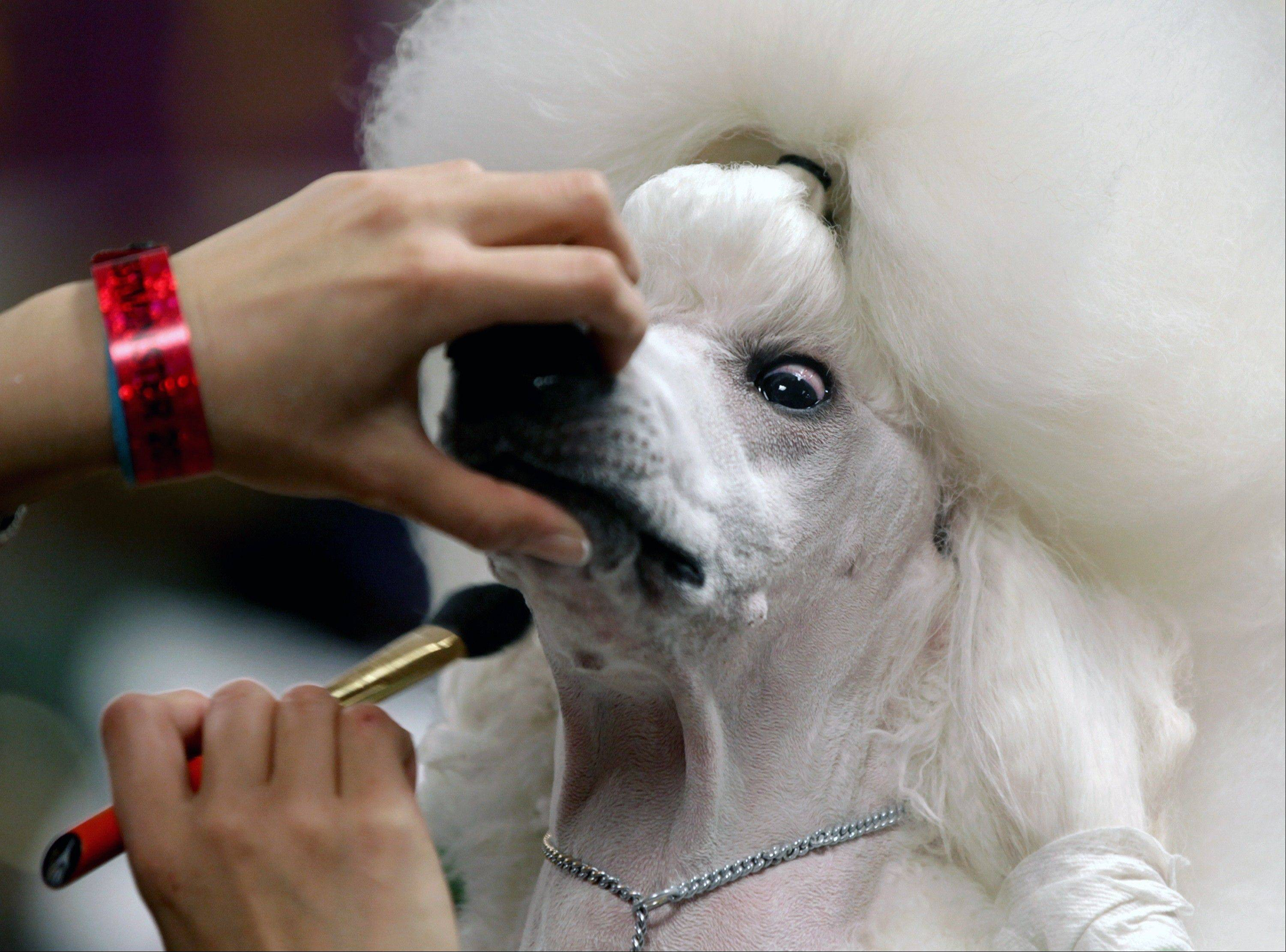 Sophie, a Standard Poodle, is groomed before her showing.